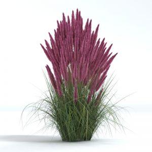 pink muhly 3d model